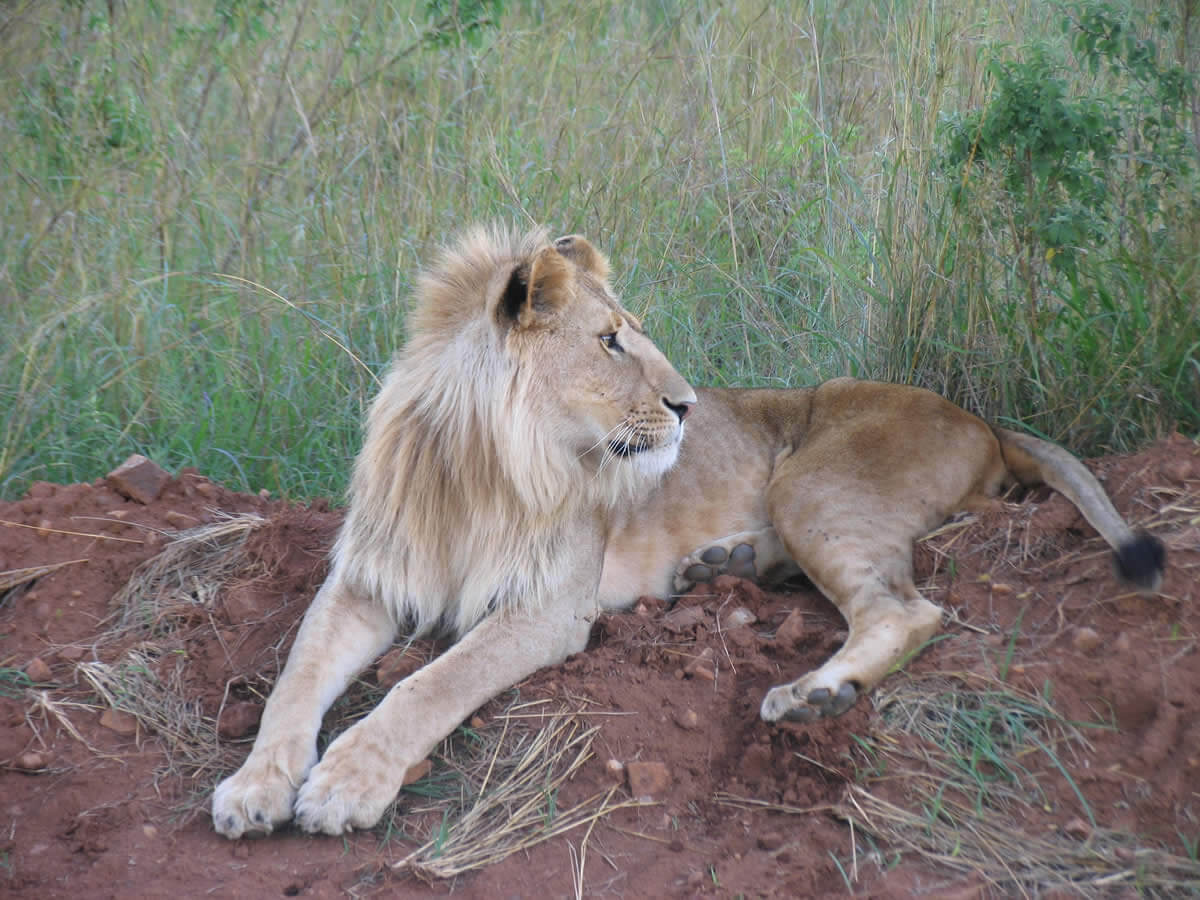 Lion in National Park