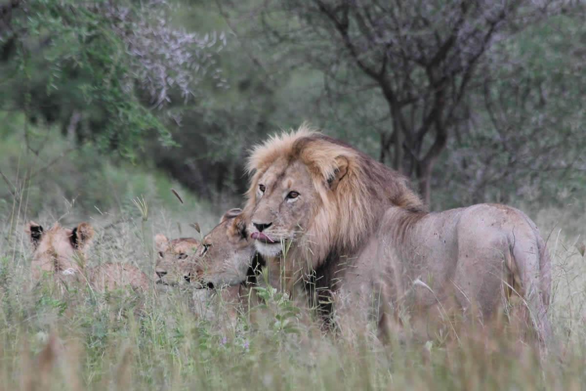 Tanzania-lion